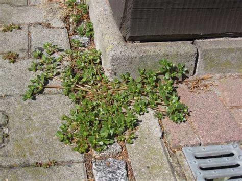 Unkraut Zwischen Steinen Vernichten 1007 by Unkraut Pflastersteine Pflanzen F 252 R Nassen Boden