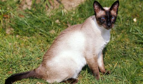 Cat Tembok Outdoor Mix One siamese cat breed information
