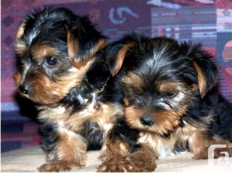 teacup yorkie for sale in ontario cutest teacup yorkie puppies for sale in belleville ontario classifieds