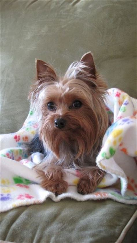 dallas yorkie rescue best 25 terrier rescue ideas on yorkie puppies yorkie and