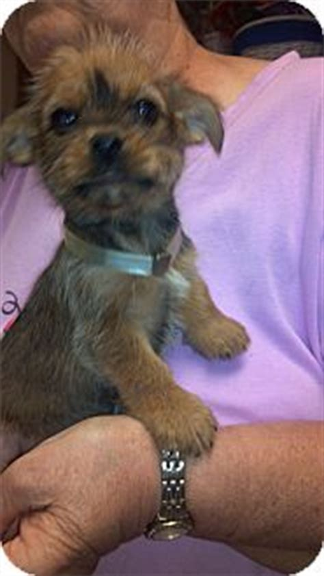 yorkie and brussels griffon mix punkin adopted puppy hazard ky yorkie terrier brussels griffon mix