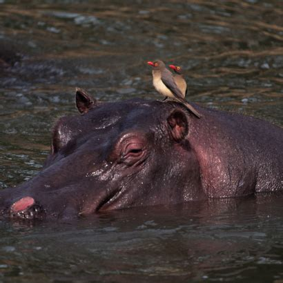 color sweat when hippos are upset their sweat changes color facts