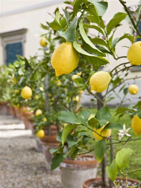 why are many fruit plants trees 1000 ideas about lemon tree plants on growing