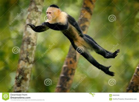 mammifero volante la scimmia salta mammifero in mosca cappuccino dalla testa