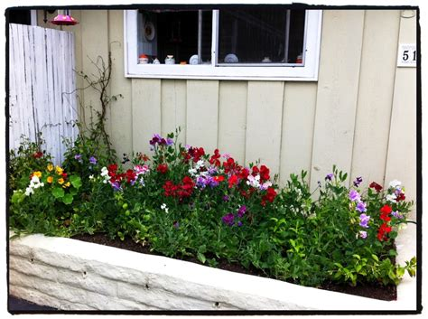 knee high sweet peas in the planter box beneath the