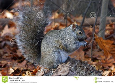 scoiattolo alimentazione scoiattolo grigio d alimentazione stock photos 1 947 images