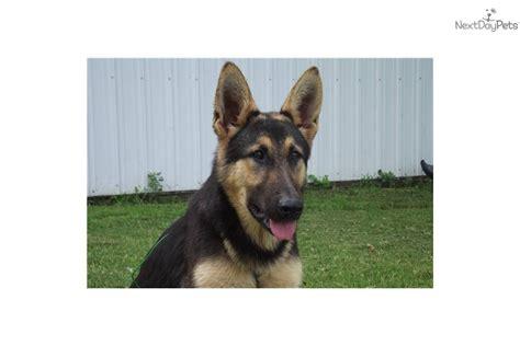 german shepherd wolf mix puppies wolf hybrid puppy for sale near omaha council bluffs nebraska 1759de57 4f21