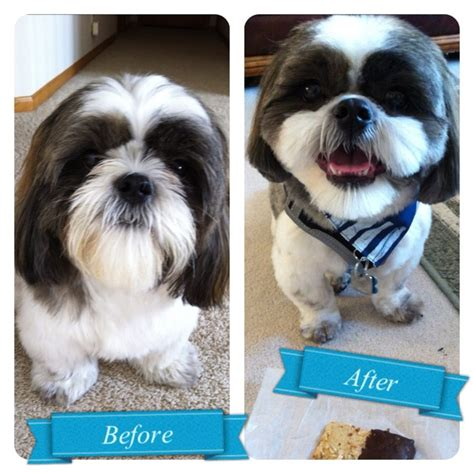 shih tzu haircuts before and after photos shih tzu haircuts before and after photos coco kennedy