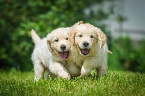 golden retriever puppies running golden retriever puppies running jigsaw puzzle puzzlemobi
