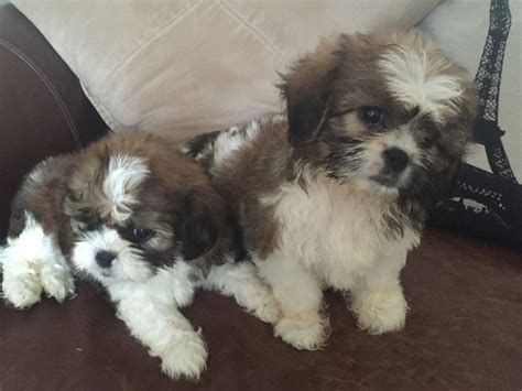 cavalier king charles x shih tzu puppies for sale cavatzu shihtzu x cavalier king charles plymouth pets4homes
