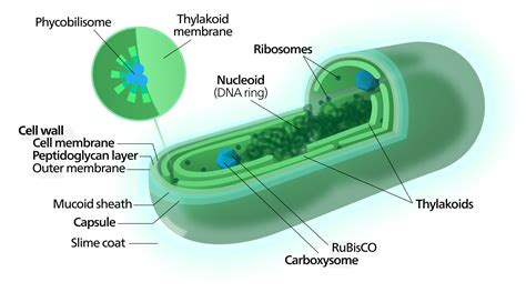 algal cell diagram a typical cyanobacterial