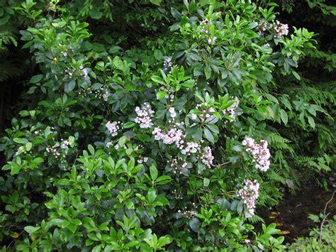 kalmia latifolia mountain laurel kalmia latifolia bing images