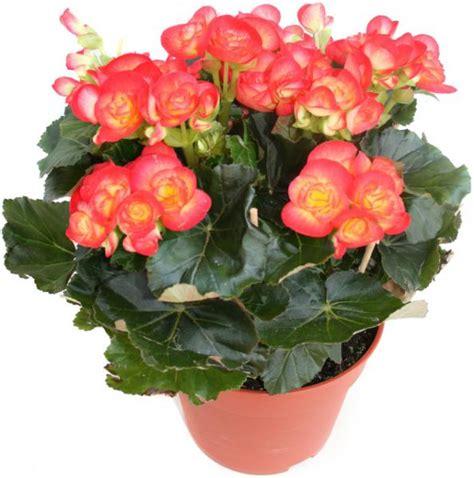 Begonia D Interieur Arrosage
