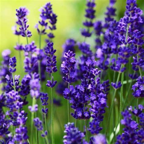lavender ellagance purple silverleaf greenhouses