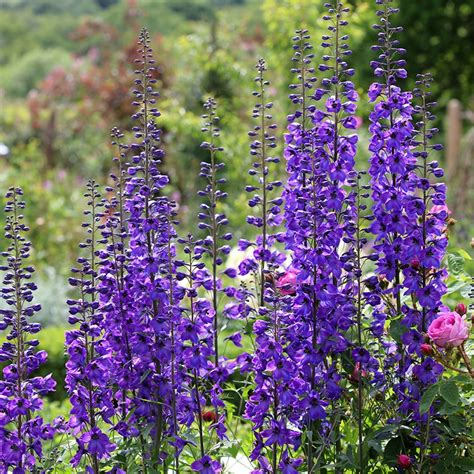buy delphinium delphinium black knight group delivery