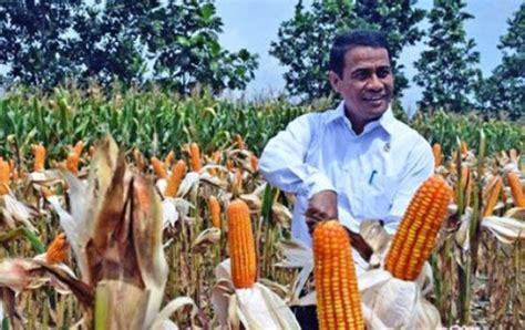 Bibit Jagung Nusantara kementan kucurkan rp3 miliar bagi petani jagung bombana