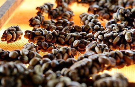 Luwak Coffee westerntaste article kopi luwak most exclusive