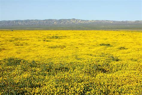 file carizzo plain flowers in bloom 6 jpg