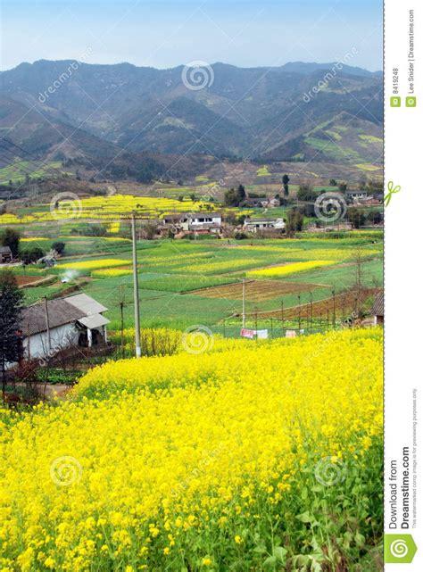 seme cina pengzhou cina ci dei fiori seme di ravizzone