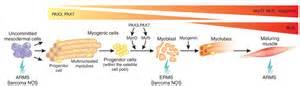 Figure 1 model of skeletal myogenesis with possible cellular origins