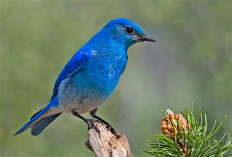 bluebird mountain bluebird information for kids