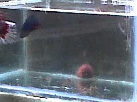 Pakan Ikan Koki Yang Baru Menetas cara mengawinkan ikan cupang funnycat tv