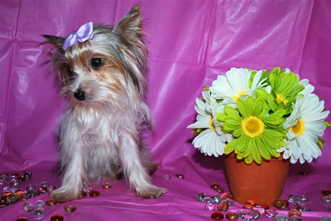 teacup parti yorkies teacup yorkies for sale teacup terrier puppies for sale teacup yorkie