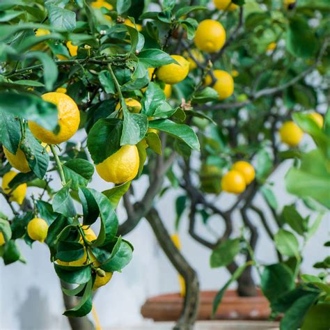 tree plant grow your own lemon tree plant kit by plants from seed