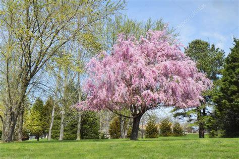 albero fiori rosa albero di salice piangente in piena fioritura fiori rosa