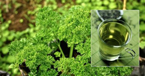 Detox Parsley Tea by This Powerful Home Made Tea Will Cure Swollen Legs In Few