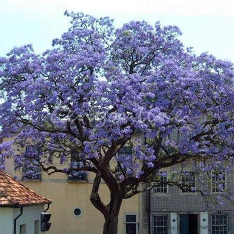 Chinesischer Blauglockenbaum Kaufen by 50 St 252 Ck Samen Paulownia Tomentosa Chinesischer