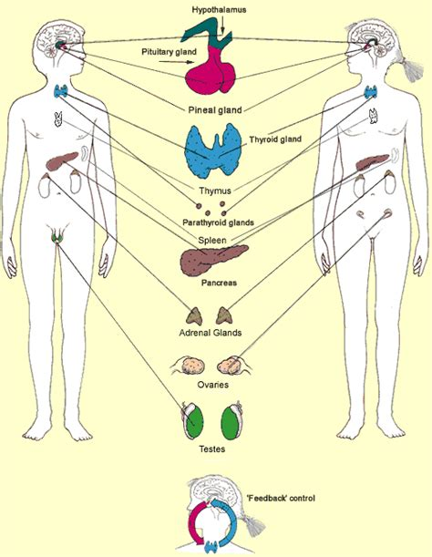 diagram of the endocrine system diagram of endo system diagram get free image about