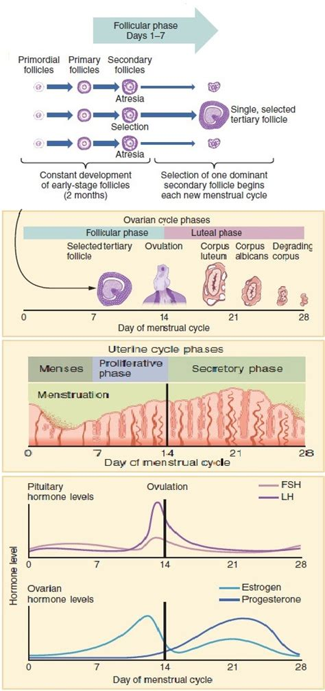 Menstrual cycle - Wikipedia Female Period Cycle