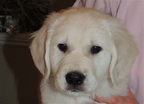golden retriever puppies barrie trained golden retriever puppy goldnote golden retrievers