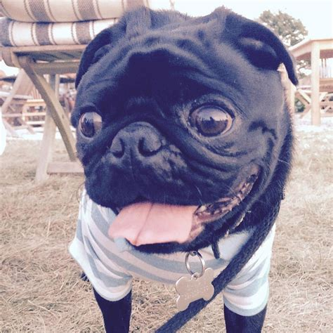how to make your pug happy about pug page 3 of 68 pugs pugs pug stories all pugs