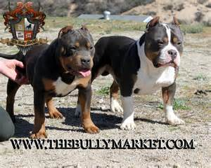 tri color american bully american bully brothers derp and beastro