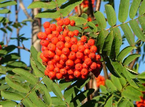 rowan - Rowan Tree Fruit
