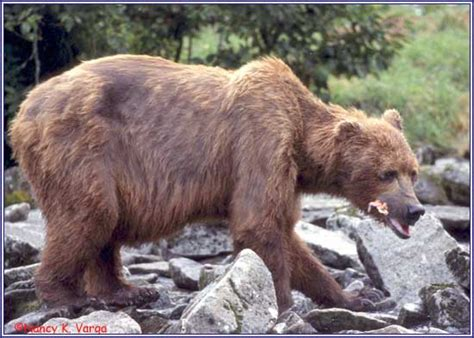 timothy treadwell bear attack timothy treadwell bear attack newhairstylesformen2014 com