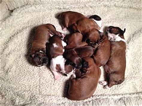tibetan terrier puppies sale tibetan terrier puppies for sale