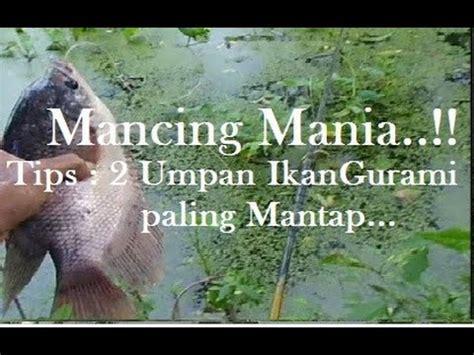 Umpan Pancing Mania tips cara mancing gurame dari sang pemancing gurame sun doovi