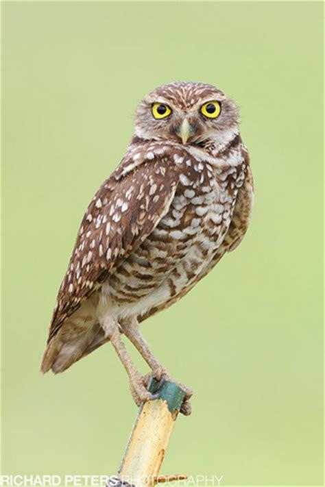 burrowing owl florida flickr photo sharing
