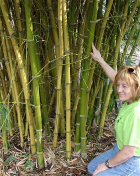 Bamboo Garden Houston by Bamboo Bamboo Nursery Bamboo Gulf Coast