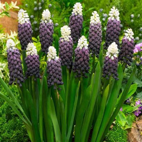 Blumen Garten Pflanzen 1531 by Die Besten 25 Traubenhyazinthe Ideen Auf