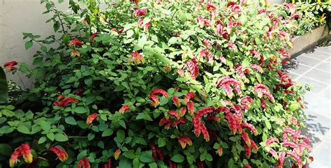 flowering shrubs for zone 9 plants flowers 187 justicia brandegeeana
