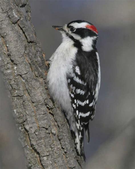 downy woodpecker audubon field guide