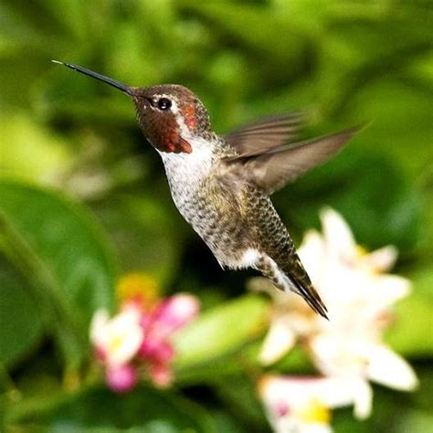 fun facts about hummingbirds audubon arizona
