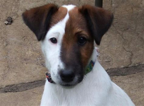 puppy puppy adorable smooth fox terrier puppy sold