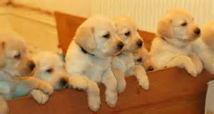 Puppies for sale 163 475 posted 9 months ago for sale dogs labrador