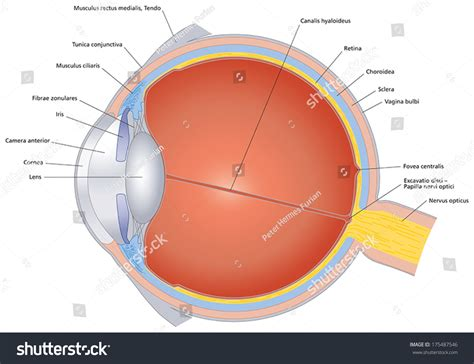 cross section of the human eye isolated illustration of the human eye with latin labeling