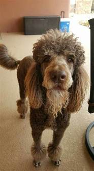 standard poodle hair styles best 25 poodle haircut ideas on pinterest poodle teddy